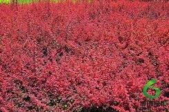 红叶小檗,恩施红叶小檗,姓杨红叶小檗树苗价格